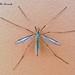 Flickr photo 'Tipula oleracea (Linnaeus, 1758) ♀' by: Marcello Consolo.
