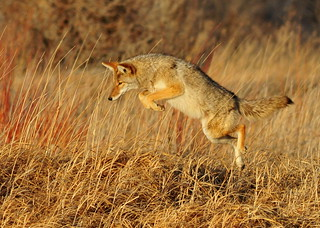 Leaping Coyote Seedskadee NWR | by USFWS Mountain Prairie