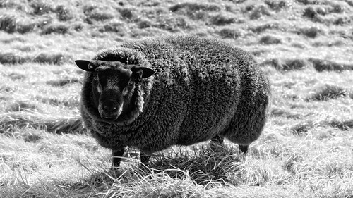 They Say I'm The Black Sheep, But I'm Not Realy
