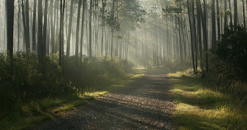 road morning light lana nature grass weather fog pine forest sunrise landscape louisiana shadows gravel nationalwildliferefuge lacombe nwr gramlich canoneos5d bigbranchmarsh bestcapturesaoi elitegalleryaoi lanagramlich dailynaturetnc14 oct112014