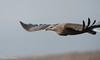 Pallas Fish Eagle (Haliaeetus leucoryphus) by Hans Olofsson