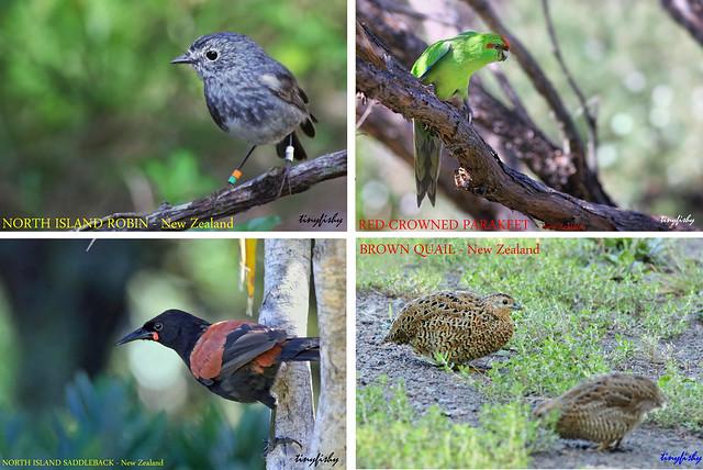(No Counts) Birds From Tiritiri Matangi Island