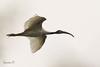 Black-headed Ibis (Threskiornis Melanocephalus) by Tea-Cuppa