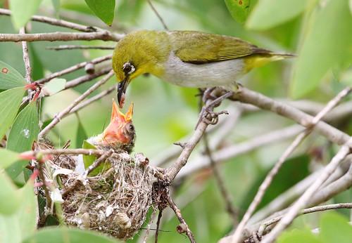 zosteropspalpebrosus orientalwhiteeye nesting chick feeding jurongecogardens