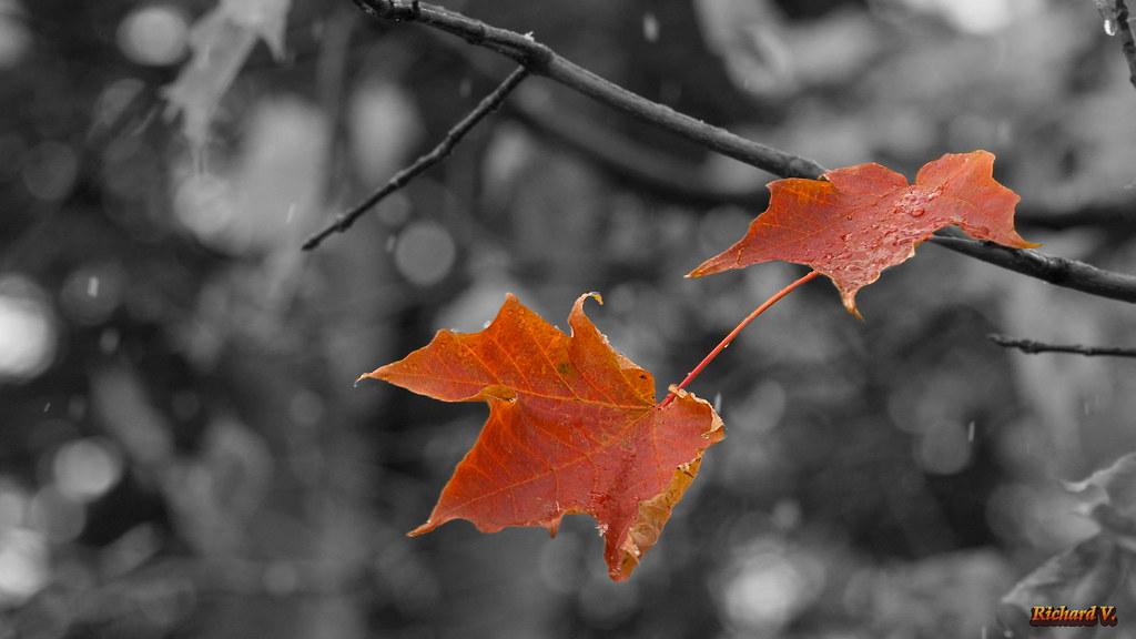 Dernières feuilles en automne  - 9098