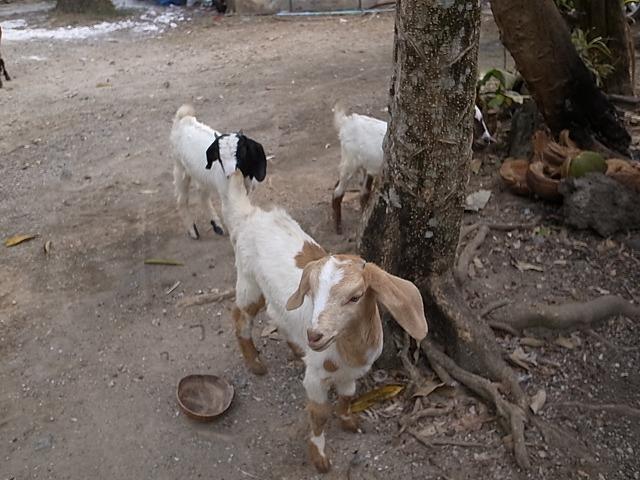 <p>庭にはヤギやニワトリが放し飼い</p>