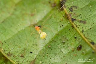 Daddy-long-legs spider (Belisana sp.) - DSC_2871