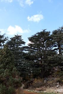 Cedar Trees in Tannourine, Cedars Forest Nature Reserve, North Lebanon