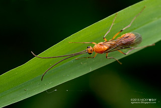 Winged ant (Diacamma sp.) - DSC_8779