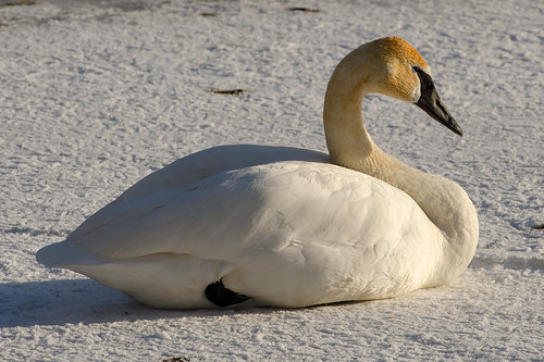 cygnusbuccinator trumpeterswan swan huronriver annarbor tamron70300mm winter 1000views onethousandviews