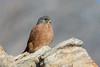 Rock Kestrel (Falco rupicolus) by Brendon White