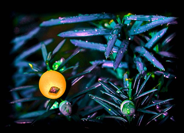 Yew berry