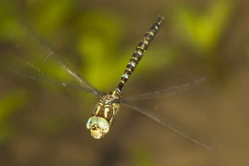 darner species | by Mon@rch