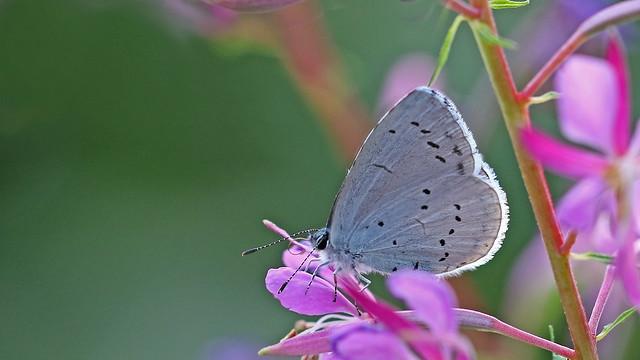Holly Blue - Celastrina argiolus (2nd brood)