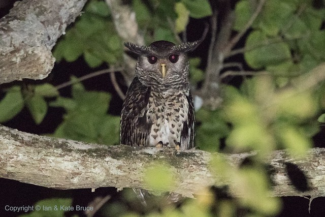 The Spot-bellied Eagle-owl