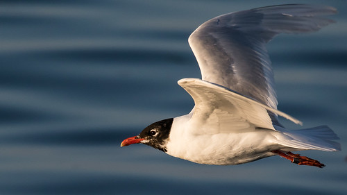 Ringed bird