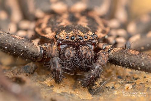 Flatty spider (Hovops sp.) - DSC_7752   by nickybay