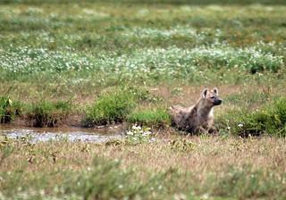 hyena-serengeti | by quirkytravelguy