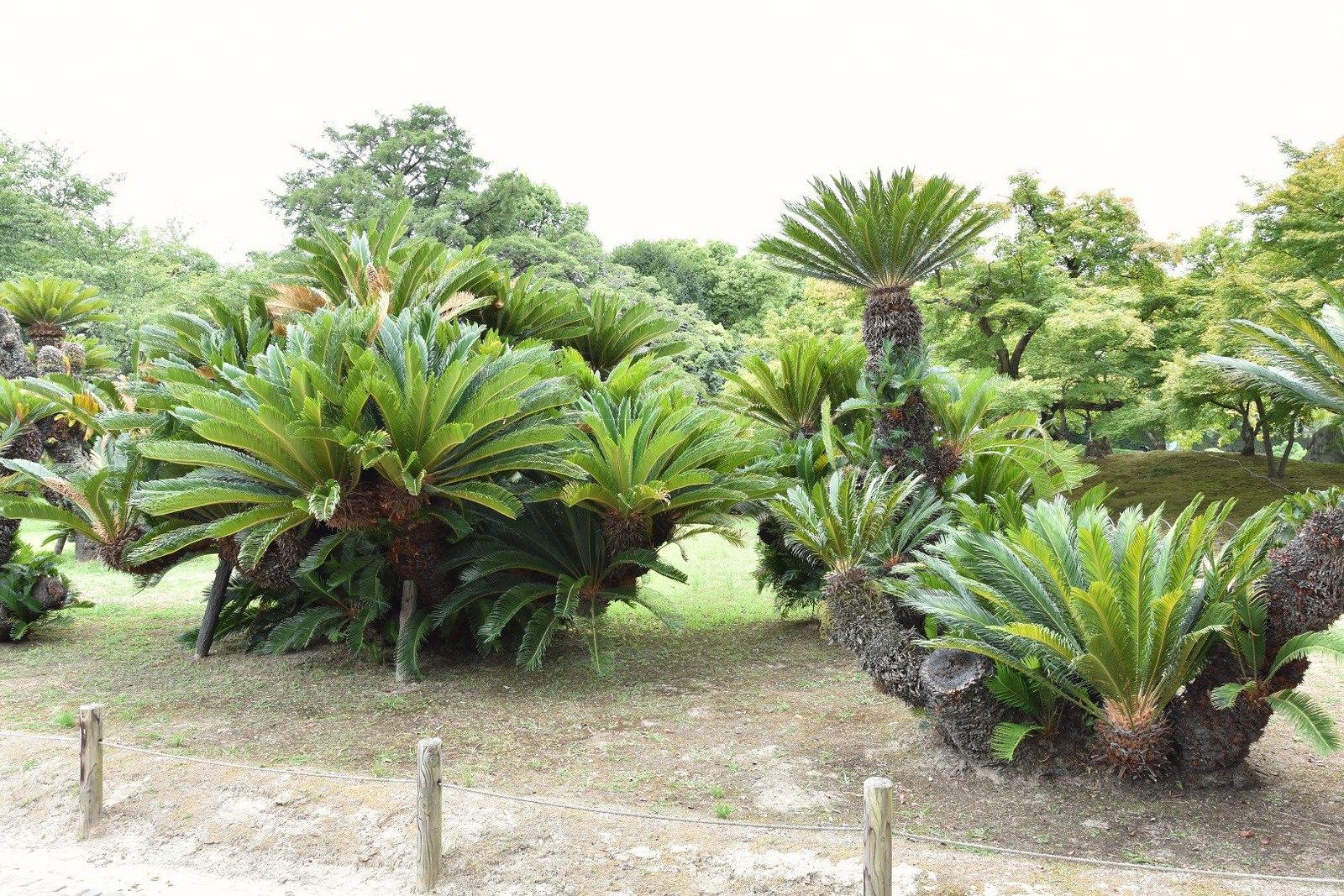 Jardins de Kôraku-en - champ de cycas