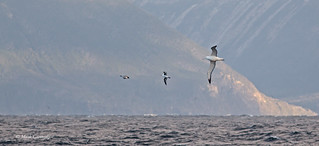 Southern Royal Albatross, Black-browed Albatross and Cape Petrel | by Mark Carmody