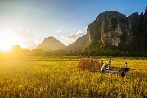 Farmers harvesting rice, Vang Vieng, Laos