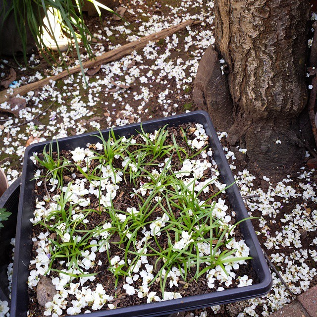Looks like it's snowing in our backyard with some of the Plum Blossoms falling. In the foreground are seedlings from our variegated Agapanthus.