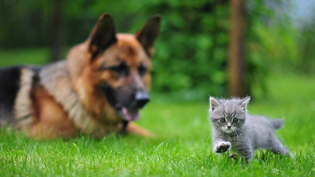 German Shepherd And Cute Kitten Playing Each Other Flickr