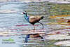 Bronze-winged-Jacana-(জল-পিপি)