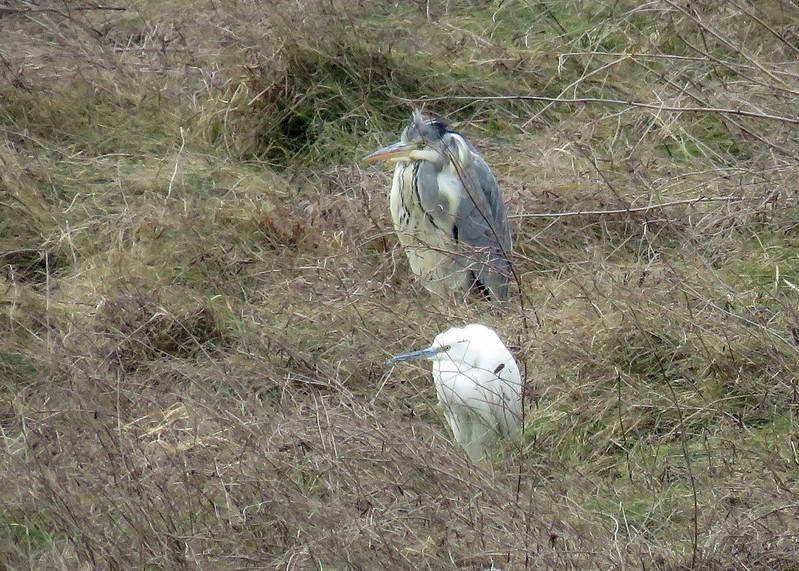 Little Egret - Egretta garzetta & Grey Heron - Ardea cinerea