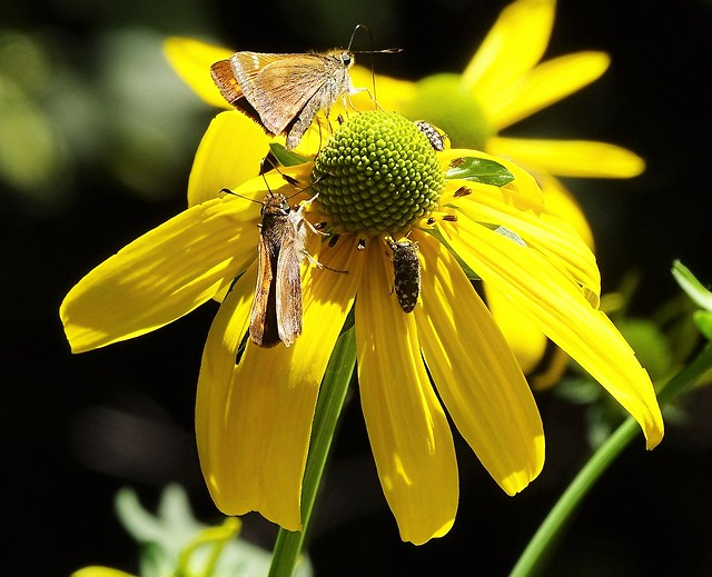 71316-27, Feeding Frenzy on A Sunflower