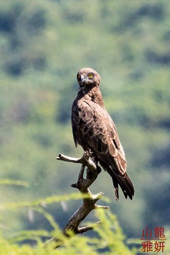 Brown Snake Eagle (Circaetus cinereus) | by DragonSpeed