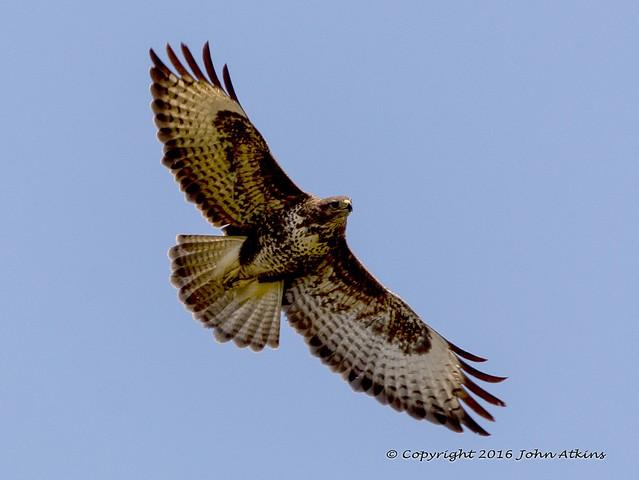Common Buzzard at Nene Park 19/04/16