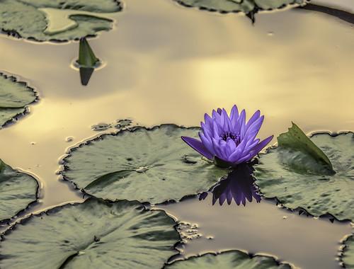 flowers water illinois blossoms sunsets waterlilies glencoe blooms lilypads chicagobotanicgarden hcs nikkor18300mm clichesaturday