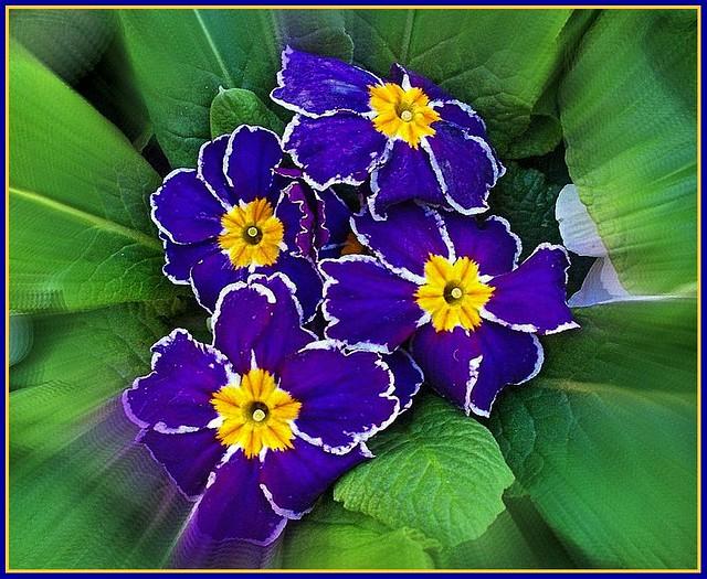 Blue Primula Plant .