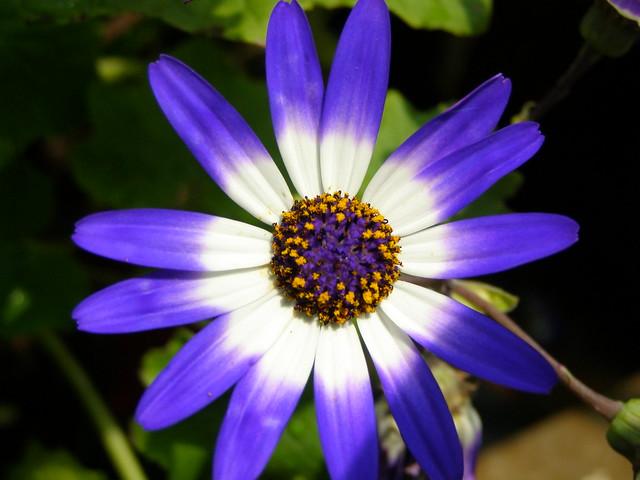 Cineraria  'Senetti Blue Bicolor' (Pericallis × hybrida)