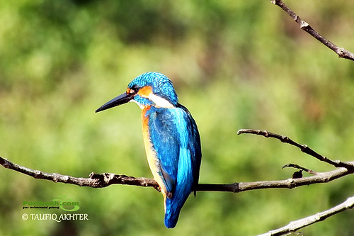 Common Kingfisher (Alcedo atthis) - পাতি মাছরাঙা | by Poribesh.com