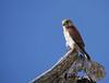 Madagascar kestrel, male (Falco newtoni), Lake Tsimanampetsotsa National Park by Niall Corbet
