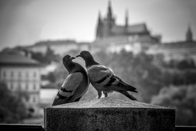 Czech Republic - Prague - Castle and Cathedral - Pigeons