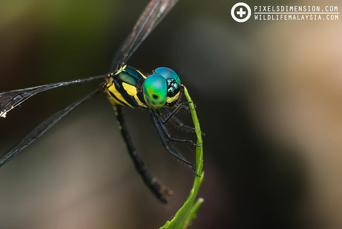 An Elf dragonfly- Tetrathemis irregularis ♂ | by PF T.J.