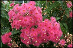 Pink gum flowers-2=