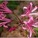 Nerine bowdenii - Photo (c) manuel m. v., μερικά δικαιώματα διατηρούνται (CC BY)