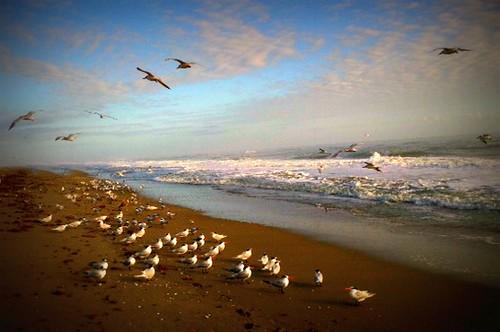 ocean seagulls beach birds sand waves fowl atlanticocean daybreak jensenbeach hutchinsonisland holidayout feb2015