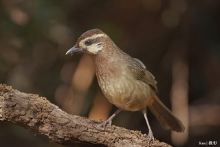 White Browed Laughingthrush | by Ken Goh thanks for 3 Million views