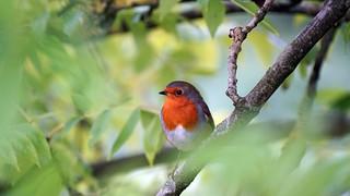 Robin's Retreat | by Mark Buchan Jones