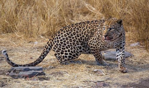africa travel wild nature animal animals canon wildlife ngc safari leopard namibia afrique namibie markiii canon5dmarkiii 5dmarkiii