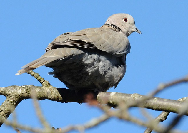 Tourterelle turque - Streptopelia decaocto- Eurasian collared dove
