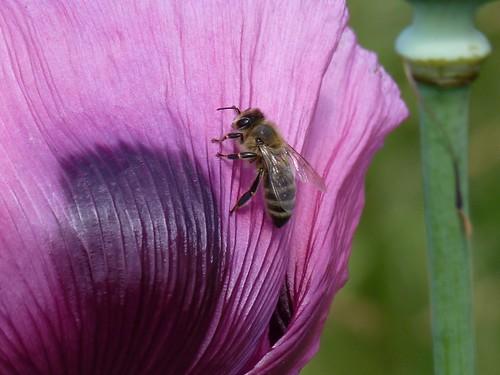Honingbij op Vlinderweide