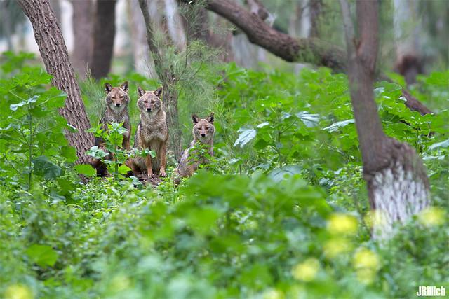 three golden jackals, wilder Goldschakal, Canis aureus syriacus @ Yarkon Park in Tel-Aviv, Israel urban nature