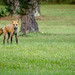 "Red Fox ""cnpa-midlands"""