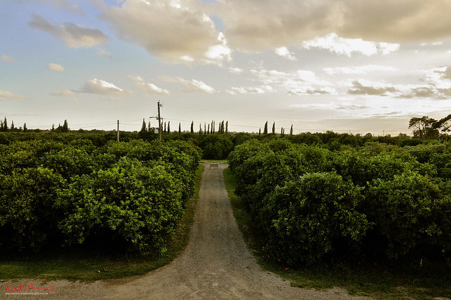 Orange Orchard and Clouds, Windsor.